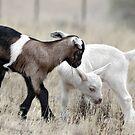 Baby Goats by Dawn van Doorn