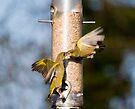 Greenfinch Fight by Nigel Bangert