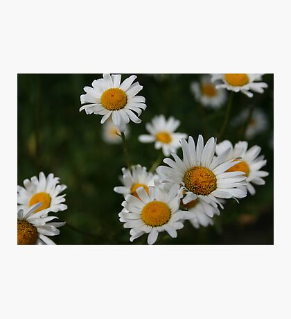 Waiting for Monica - Daisies Photographic Print