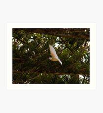 White Tern, Lord Howe Island Art Print