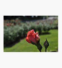 Rose, Hershey Gardens Photographic Print