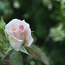 Pink Rose, Hershey Gardens by Corkle
