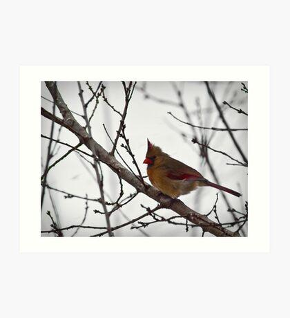 Winter Female Cardinal Art Print