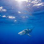 Sun-Rays Bathing a Lemon Shark by Brent Barnes