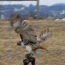 Red Tailed Hawk with Dinner by Corkle