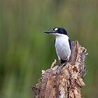 Forest Kingfisher by mncphotography