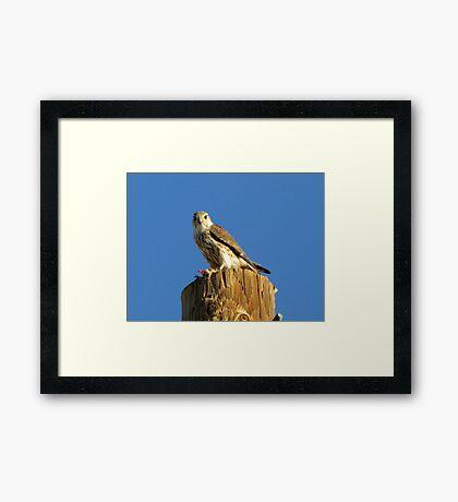 Merlin (Richardsoni) Framed Print