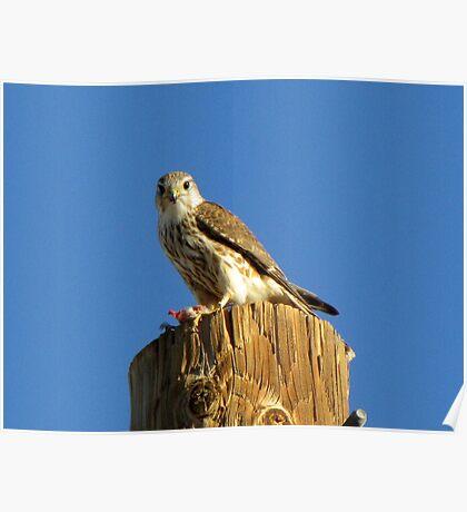 Merlin (Richardsoni) Poster