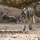 African wild dog by Anthony Brewer