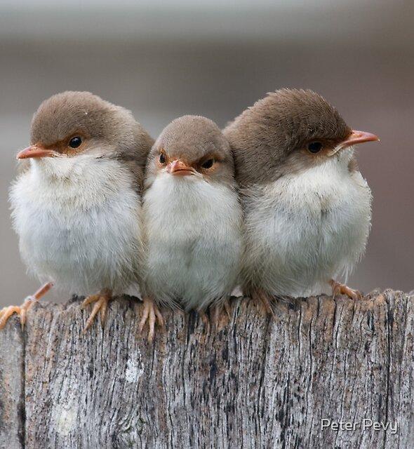 Superb Siblings by Peter Pevy