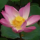 Lotus  by Melissa Maguire