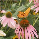 Julia Butterfly, Hershey Gardens, Hershey, PA by Corkle