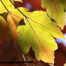 Maple Leaves by Joy Watson