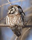 Boreal Owl by Todd Weeks