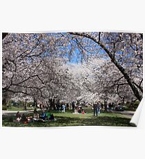 Cherry Blossoms Park Poster