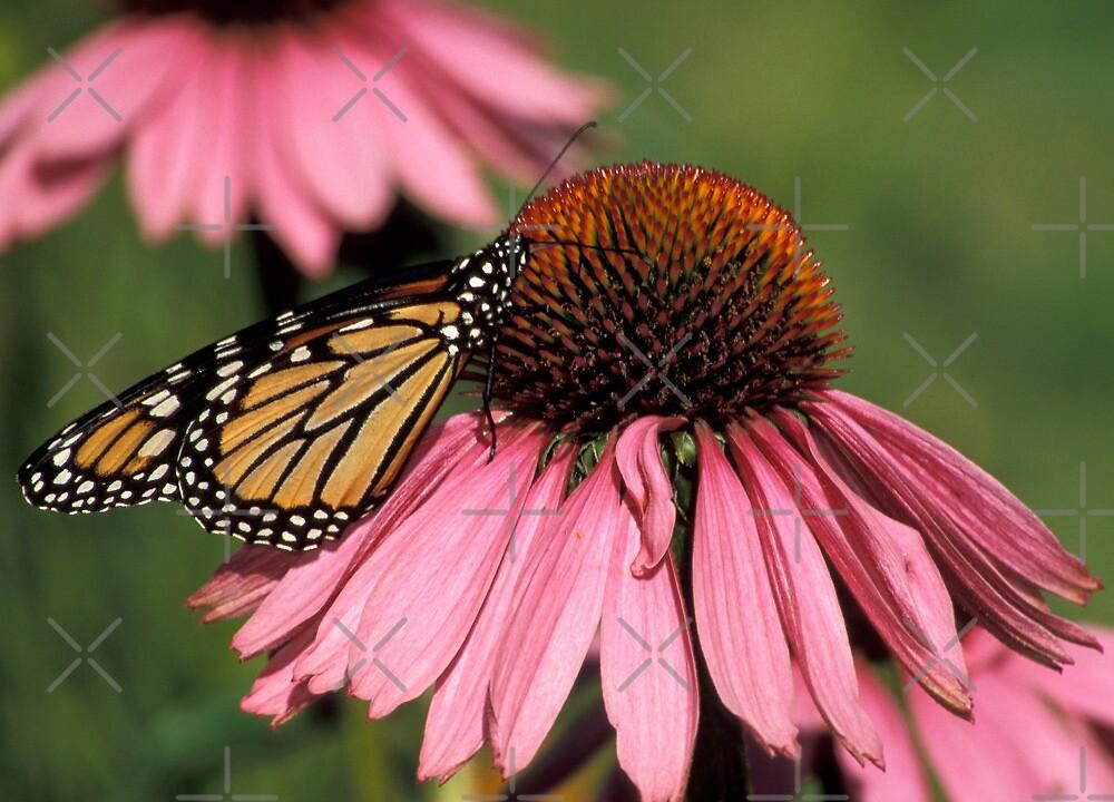 Monarch on Echinacea by Bill Spengler