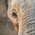 African elephant, close-up of right side by Angela Ferguson