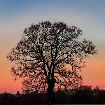 Beautiful Sycamore Tree Silhouette by widdy170
