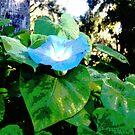 Morning Glory 102243 by korokstudios