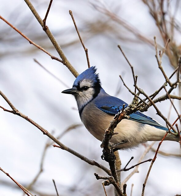 Blue Jay Sitting Pretty by Deb Oppermann
