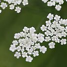 White Lace by Chappy