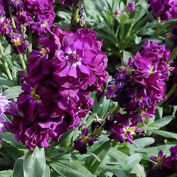 Vibrant Purple Scented Stocks by SunriseRose