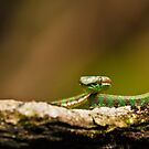 Pit Viper by Nickolay Stanev