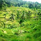 Bali rice fields  by Melissa Maguire