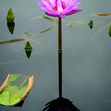 Pink Hardy Waterlily Flower by ezumeimages