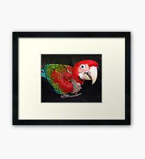 macaw 10 weeks Framed Print