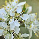 Spring blossoms by Heather Thorsen