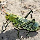 mexican grasshopper by Eliza1Anna