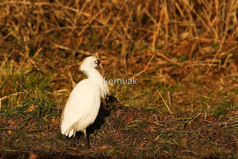 Cattle Egret by kernuak