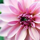Oh These Gorgeous Creme Pink Dahlias by hurmerinta