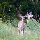 Deer Among The Wildflowers by Penny Odom