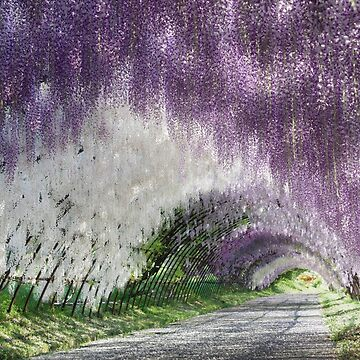 Wisteria Tunnel by dawnmvd
