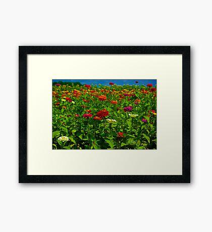 Zinnia Field Framed Print