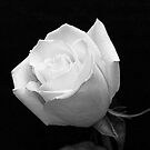 White Rose by Jeff Lowe