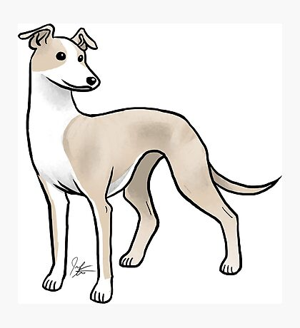 Whippet Photographic Print