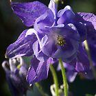 Lavender Columbine by James Brotherton