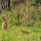Hare in the field by valdez