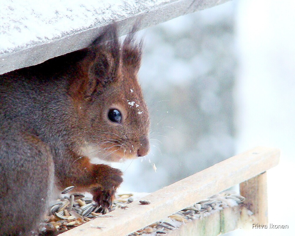 Snow Squirrel by Ritva Ikonen