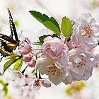 Butterfly on Cherry Blossom by Morag Bates