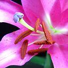 Pink Lily macro. by Vitta