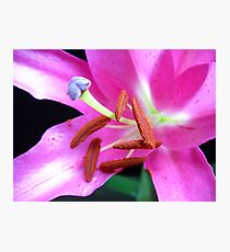 Pink Lily macro. Photographic Print