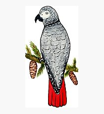 African Grey on a Fir Tree Branch Photographic Print