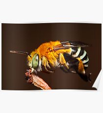 Blue Banded Bee resting on a twig Poster
