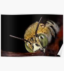 Blue Banded Bee face on Poster