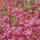 Crabapple Blossoms by MaryinMaine