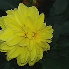 Yellow dahlia by Maria1606